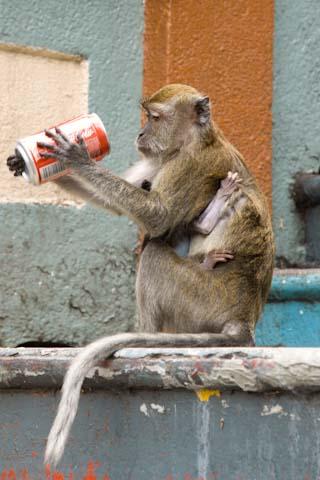 Malaysia Monkey drinking coke